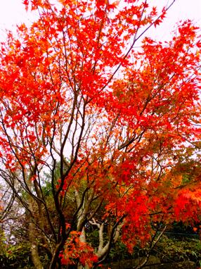 六甲山紅葉